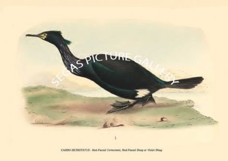 Fine art print of the CARBO BICRISTATUS - Red-Faced Cormorant, Red-Faced Shag or Violet Shag by Philipp Franz Balthasar von Siebold (1850)